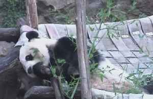 Bei Bei takes 'Panda Express' to China [Video]