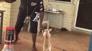 Kangaroo Joey Playing with People [Video]