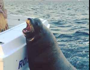 Giant sea lions board fishing boat to ask for snacks [Video]