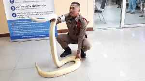 Albino Burmese python sparks panic after being unfurled at police station [Video]
