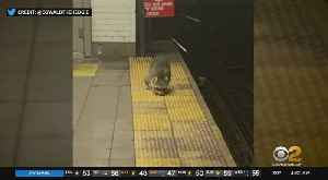 Subway Raccoon Spotted In Brooklyn [Video]