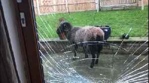 BBC TV presenter stunned when his patio doors are smashed by a raging ram [Video]