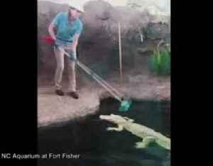 Albino gator gets a good scrub in North Carolina [Video]
