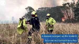 WEB EXTRA: Koala Rescued [Video]