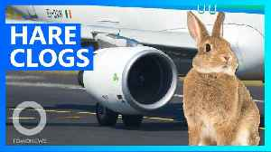 Rabbits are being sucked into plane engines in Ireland [Video]