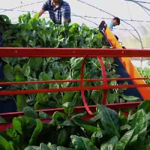 This innovative machine was designed for the daily picking of lettuce [Video]