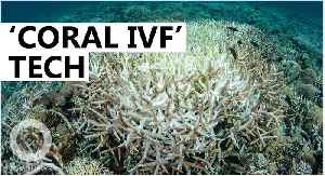Scientists to use 'Coral IVF' to restore Great Barrier Reef [Video]