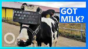 Cows rocking VR goggles in Russia to help with milk production [Video]