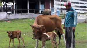 Cow in Indonesia gives birth to rare eight-legged calf [Video]