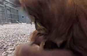 Rare baby orangutan joins family at UK zoo [Video]