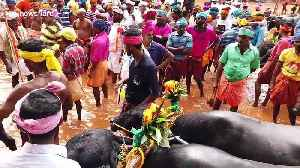 Locals gather to watch traditional buffalo races in southern India [Video]