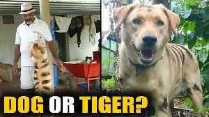 Karnataka farmer paints dog to look like a tiger to scare away monkeys  | OneIndia News [Video]