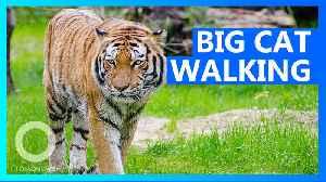 India tiger searches for prey, mate in longest walk ever [Video]