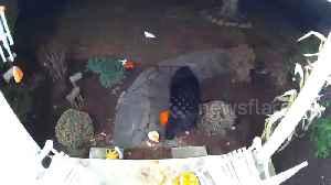 Bear caught on Connecticut doorbell cam smashing up Thanksgiving pumpkins [Video]