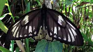 Giant birdwing transforms from caterpillar to cocoon to butterfly [Video]