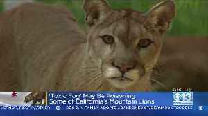 News video: 'Toxic Fog' May Be Poisoning Some California Mountain Lions