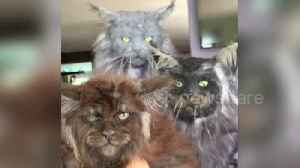 Bizarre footage shows collection of cats in Russia that appear to have human faces [Video]