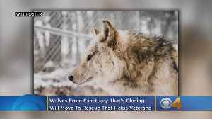 Wolves From Sanctuary That's Closing Will Move To Rescue That Helps Veterans [Video]