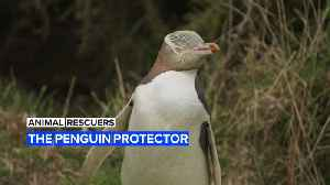 Animal Rescuers: The woman protecting New Zealand's penguins [Video]