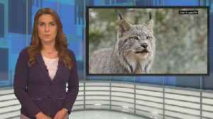 Environmental Group Planning To Sue DNR For Failing To Protect Lynx From Trappers [Video]