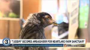 'Tuesday' becomes ambassador for Heartland Farm Sanctuary [Video]