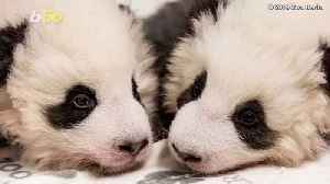 Adorable Baby Pandas Spend First Christmas With Mom [Video]