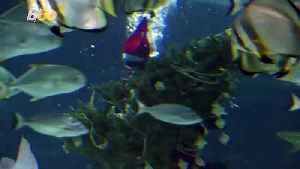 Santa Jaws! Divers Don Santa Suits to Put Christmas Tree in Shark Aquarium [Video]