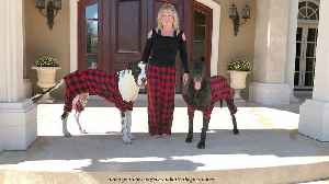 Great Danes wear pajamas for Christmas card photo [Video]