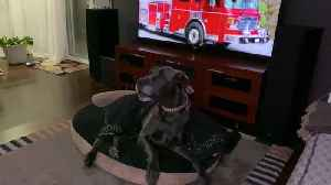 Sleepy Great Dane wakes up to howl at fire truck [Video]