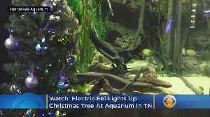 News video: WATCH: Electric Eel Lights Up Aquarium's Christmas Tree And Tweets About It