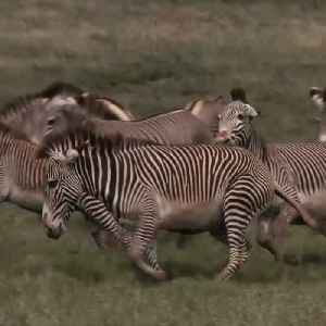 Climate change threatens to eliminate Grevy zebras [Video]