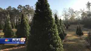 Picking the perfect Christmas tree [Video]