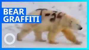 Polar bear spray painted with graffiti in Russia [Video]