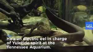 News video: Electric eel lights up aquarium Christmas tree