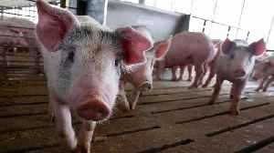 China To Waive Tariffs On Some U.S. Pork, Soybean Purchases [Video]