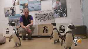 Denver Zoo Bird Keeper Helps Endangered Penguins In South Africa [Video]