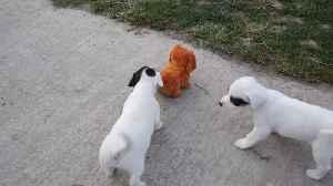 Jack Russell Terriers battle robot puppy [Video]