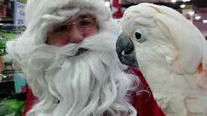 Moluccan Cockatoo adorably meets Santa Claus [Video]