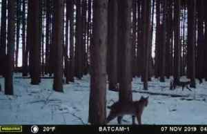 Rare sighting of four bobcats on property in U.S. [Video]