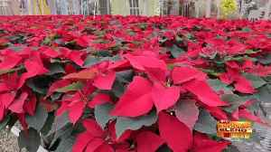 A Poinsettia Party to Get into the Holiday Spirit! [Video]