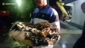 Sumatran tiger hunters arrested in Indonesia with one skin and 4 fetuses [Video]