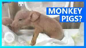 Two piglets containing monkey DNA born in Chinese laboratory [Video]