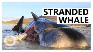 Stranded sperm whale had 100 kg of garbage in it stomach [Video]