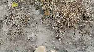 A Young Leopard Gets Up Close & Personal With Wildlife Photographer! [Video]