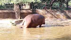 Naughty baby hippo refuses to leave pond with his mum at Indian zoo [Video]