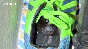 Schoolboy, 10, shocked after finding a COBRA curled up inside his football boots [Video]