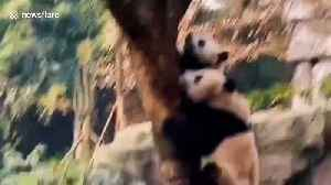 Giant pandas drop everything and scurry up tree during earthquake in central China [Video]