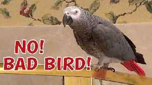 Talking parrot reprimands himself for bad behavior [Video]