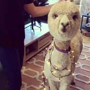 Alpaca Shows off Christmas Spirit [Video]