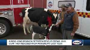 Rescuers of dairy cow reunite with her, her calf [Video]